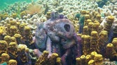copulate : Underwater marine life, couple of Caribbean reef octopus mating, close up video, Panama