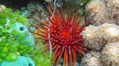 ouriço : Close up of sea urchin Echinometra viridis, commonly called reef urchin, Caribbean sea