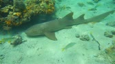 oceano atlântico : Nurse shark underwater, Ginglymostoma cirratum, resting on the seabed with reef fish swimming around, Caribbean sea