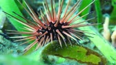 ouriço : Reef urchin, Echinometra viridis, close-up video underwater on the seabed in the Caribbean sea Vídeos