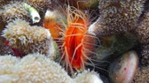 deniz yaşamı : Sea life, close up of a Flame scallop, Ctenoides scaber, bivalve mollusk in the Caribbean sea