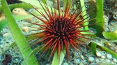 ouriço : Close up of a sea urchin underwater, Echinometra viridis, commonly called reef urchin, Caribbean sea