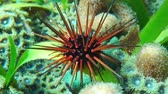 deniz yaşamı : Sea urchin underwater, Echinometra viridis, commonly called reef urchin, Caribbean sea, Mexico Stok Video