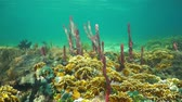 tubulação : Underwater scene on a shallow seabed of the Caribbean sea with sponges and fire corals, Panama