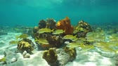 cozumel : Caribbean sea underwater on shallow seabed with corals and a school of French grunt fish Stock Footage