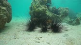 ouriço : Several long-spined sea urchins Diadema setosum underwater on a sandy ocean floor, motionless scene, south Pacific ocean, New Caledonia Vídeos