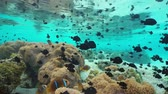 sasanka : Tropical shoal of fish damselfish and clownfish with sea anemones underwater ocean in a lagoon of a south Pacific island, Huahine, French Polynesia Dostupné videozáznamy