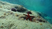 ouriço : A Mediterranean red sea star, Echinaster sepositus, underwater on a rock with sea urchins in background, Cap de Creus, Costa Brava, Catalonia, Spain, 60fps Vídeos