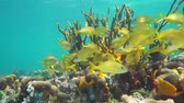 gąbka : Shoal of tropical fish in a colorful coral reef, Caribbean sea, Mexico, 50fps