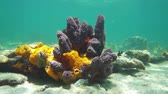 deniz yaşamı : Colorful sea sponges underwater on a shallow seabed of the Caribbean sea, 50fps Stok Video