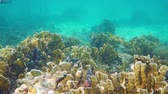 deniz yaşamı : Underwater landscape in a coral reef with tropical fishes in the Caribbean sea, Mexico, 50fps