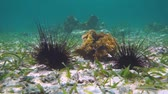 Underwater long spined sea urchins on the seabed in the Caribbean sea, Mexico, 50fps Stock Footage
