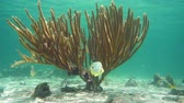 çubuk : Sea rod soft coral with tropical fish underwater in the Caribbean sea, natural light, 50fps