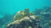 Underwater landscape in a coral reef of the Caribbean sea, Mexico, 50fps