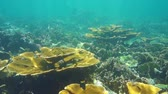 Underwater landscape in a coral reef of the Caribbean sea, fire corals and elkhorn corals, Mexico, 50fps Stock Footage