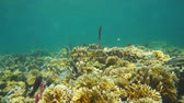 central : Caribbean sea coral reef underwater, Bocas del Toro, Panama, Central America, 50fps Stock Footage