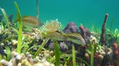 Colorful marine life on the seabed with tropical fish (white grunt fish), underwater scene, Caribbean sea, 50fps