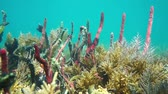 Marine life, erect rope sponges and sea plume corals, underwater scene, Caribbean sea, 50fps