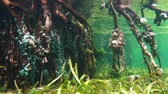 Mangrove underwater with marine life fixed on the roots, Caribbean sea, Central America, Panama, 50fps Stock Footage
