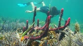 américa central : Snorkeling underwater a man looks colorful erect ropes sponges in a coral reef of the Caribbean sea, Panama, Central America, 50fps