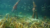 Marine life underwater in the mangrove habitat, Caribbean sea, Central America, Panama Stock Footage