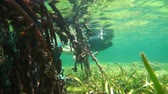 Mangrove roots underwater with a man snorkeling, Caribbean sea, Panama, Central America, 50fps Stock Footage
