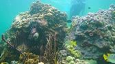 Underwater reef marine life with great star corals and a man snorkeling in background, Caribbean sea, Panama, Central America, 50fps