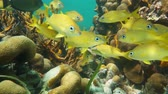 A shoal of tropical fish (mostly French grunt) in a coral reef, underwater scene, Caribbean sea, 50fps