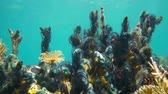 Colorful underwater marine life with sea sponges covered by brittle star tentacles and a marine worm, Caribbean sea, 50fps