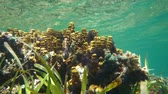 Sea sponges Aplysina insularis and ripples of water surface in background, underwater scene, natural light, Caribbean sea, 50fps