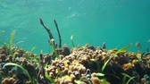 Colorful marine life on a shallow seafloor with the water surface in background, underwater scene, Caribbean sea, 50fps
