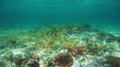 A school of fish (French grunt) with some corals and sponges on the seabed in the Caribbean sea, underwater scene Stock Footage