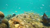 A shoal of fish (juvenile French grunt fish) on a reef with some marine worms and damselfish, underwater scene, natural light, Caribbean sea, Central America, Panama, 50fps Stock Footage
