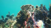 Many Suenson brittle stars over coral and sponge underwater on a reef of the Caribbean sea, 50fps