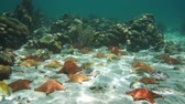 Cushion starfishes underwater on the sand with some tropical fish and corals in background, natural light, Caribbean sea, 50fps Stock Footage