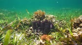 Colorful underwater marine life on a shallow seafloor with seagrass in the Caribbean sea, 50fps