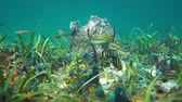 Colorful underwater marine life on the seabed with tropical fishes of the Caribbean sea, 50fps