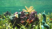 Underwater sea life with colorful sponges and marine worm on a shallow grassy seabed in the Caribbean sea, 50fps