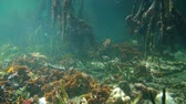 Mangrove roots underwater with lettuce coral on the seafloor, Caribbean sea, Central America, Panama Stock Footage