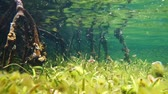 américa central : Underwater a shallow seabed with seagrass and mangrove roots below water surface, Caribbean sea, 50fps Stock Footage