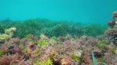 alga : Seaweed and seagrass underwater on the seabed in the Mediterranean sea, natural light, Costa Brava, Catalonia, Spain