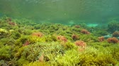 řasa : Algae underwater on a shallow seabed below the water surface, natural light, Mediterranean sea, Costa Brava, Catalonia, Spain Dostupné videozáznamy