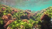 spain : Seaweeds with some fish in shallow water, Mediterranean sea, underwater scene, natural light, Costa Brava, Catalonia, Spain