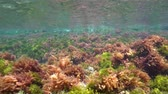 řasa : The ripples of algae in shallow water below sea surface, natural light, underwater scene, Mediterranean sea, Costa Brava, Catalonia, Spain Dostupné videozáznamy