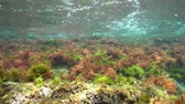fuzileiros navais : Underwater seaweeds with small fish in shallow water, Mediterranean sea, natural light, Costa Brava, Catalonia, Spain Stock Footage
