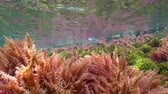 řasa : Seaweeds ripples underwater below sea surface, natural light, Mediterranean sea, Costa Brava, Catalonia, Spain