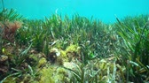 catalunha : Seagrass Posidonia oceanica and algae underwater in the Mediterranean sea, natural light, Costa Brava, Catalonia, Spain