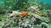 denizyıldızı : A Mediterranean red sea star, Echinaster sepositus, underwater on a seabed with algae and seagrass, Costa Brava, Catalonia, Spain