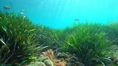 Средиземное море : Seagrass with some fish underwater in the Mediterranean sea, neptune grass Posidonia oceanica, natural light, Costa Brava, Catalonia, Spain Стоковые видеозаписи