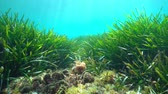 Испания : Seabed with seagrass Posidonia oceanica and seaweeds in the Mediterranean sea, underwater scene, natural light, Costa Brava, Catalonia, Spain